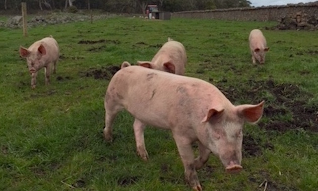 Free Range Pork the Koallah Farm way
